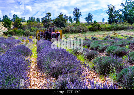Lavender of Provence,  harvesting of purple lavender aromatic plants on summer fields in Van de Sault, Vaucluse, France, nature background - Stock Image