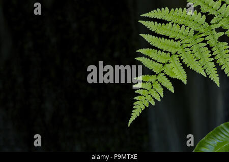 Fern leaf with copy space on left of dark background.  Location is Japanese Garden of Butchart Gardens near Sidney on Vancouver Island, Canada - Stock Image