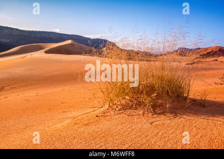 Hummock, clump of giant sandreed (Calamovilfa gigantea) grass at dunes,  Moquith Mountains in distance, Coral Pink - Stock Image