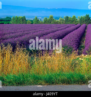 Field of lavender growing in Provence South of France - Stock Image