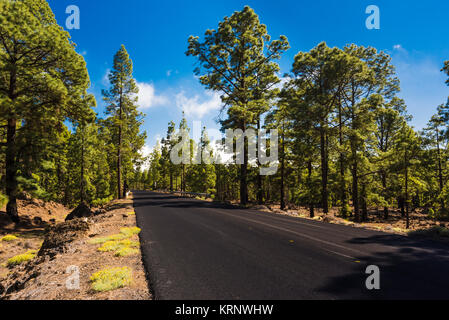 Newly surfaced road through the forest of native Canarian pine with abundant Tenerife bird's foot trefoil in - Stock Image