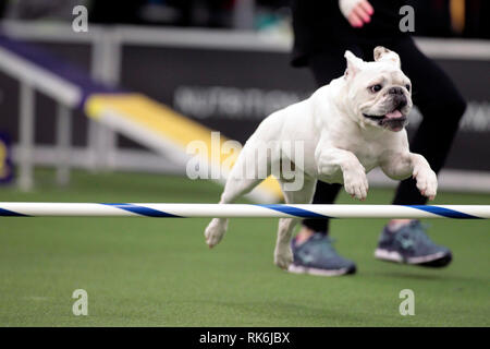 New York, USA. 9th Feb 2019. Rudy, a Bulldog, competing in the preliminaries of the Westminster Kennel Club's Master's Agility Championship. Credit: Adam Stoltman/Alamy Live News - Stock Image