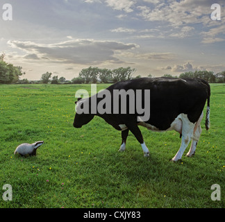Badger cub looks at friesian cow on UK farm highlighting bovine TB controversy - Stock Image