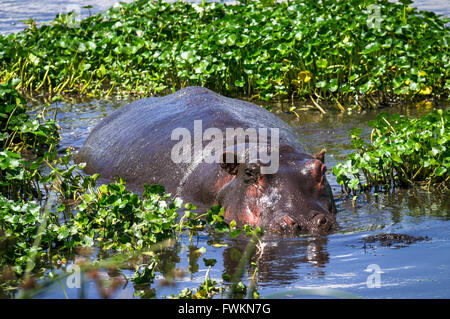 Hippopotamus (Hippopotamus amphibius) half-submerged in a wetland in Ngorongoro Crater, Tanzania, Africa - Stock Image