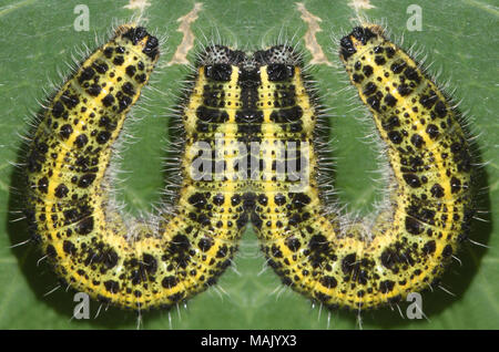 W is for wriggly. A manipulated image of a yellow and brown caterpillar of the large white or cabbage white butterfly (Pieris brassicae) forms a W on - Stock Image