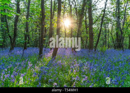 The sun breaking through trees in a bluebell woods carpeted with blooms - Stock Image