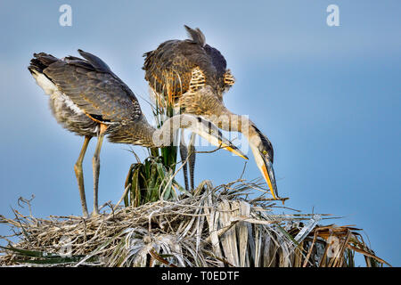 Great Blue Heron youngsters are doing nest improvement assignment together. - Stock Image