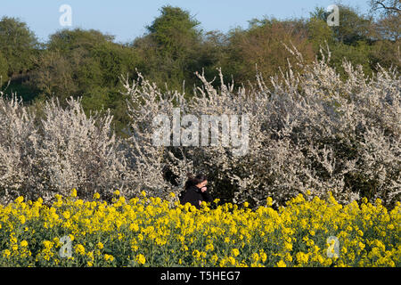 A woman runs through a rapeseed field in Warwickshire, UK, 11 April 2019. - Stock Image