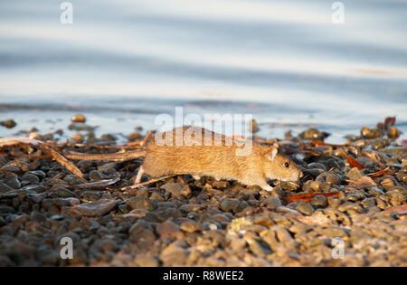 adult Brown Rat, Rattus norvegicus, on the banks of the River Thames, London, United Kingdom - Stock Image
