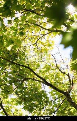 An Acer Palmatum - Tsuma Gaki - tree, at Lan Su Chinese Garden in Portland, Oregon, USA. - Stock Image
