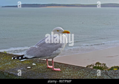 The view across the sea from the seaside resort of Tenby,towards Caldey Island, home to Cistercian monks at Caldey Abbey. A lone herring gull resting. - Stock Image