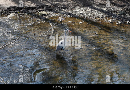 Grey Heron Andrea Cinerea, in Millhouses Park, Sheffield UK - Stock Image