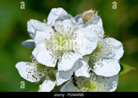 Bramble or Blackberry (rubus fruticosus), close up of a cluster of flowers. - Stock Image