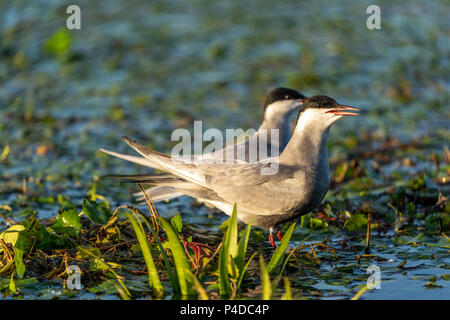 Family of two White Cheeked Terns (Sterna Repressa) in their nest on water in Danube Delta, Romania at sunrise - Stock Image