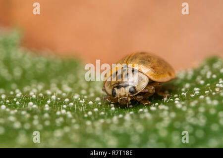 10 spot Ladybird (Adalia decempunctata) crawling along leaf with dew droplets. Tipperary, Ireland - Stock Image