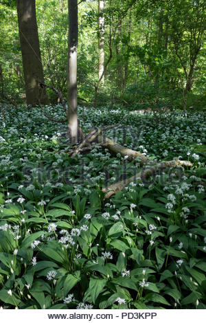 Allium ursinum - wild garlic covering the floor of the forest in the Amsterdamse Bos. The Amsterdamse Bos is situated between the city and Schiphol Ai - Stock Image