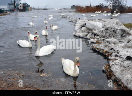 West Haven CT USA- Swans swim down Monahan Place at the intersection with 1st Avenue as high winds caused coastal - Stock Image