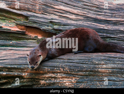 North American River Otter - Stock Image
