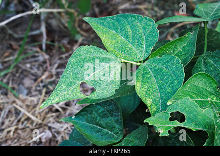Caterpillar damage in the leaves of a domestic bush bean plant. - Stock Image
