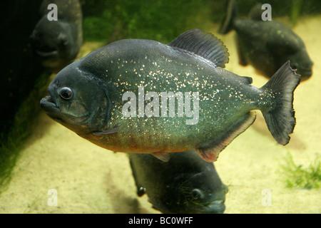 Red-bellied Piranha, Pygocentrus nattereri, South American Freshwater Fish - Stock Image