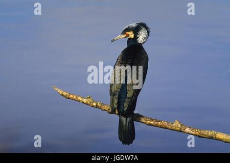 Cormorant, Phalacrocorax carbo, Kormoran (Phalacrocorax carbo) - Stock Image