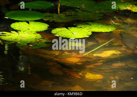 Dappled light hits a patch of lily pads in a garden in Papua New Guinea - Stock Image