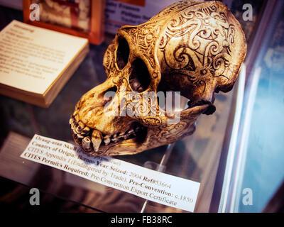 orangutan skull illegal import seized by customs new zealand - Stock Image