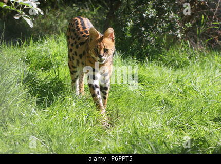 Female African Serval (Leptailurus serval) walking towards the camera - Stock Image