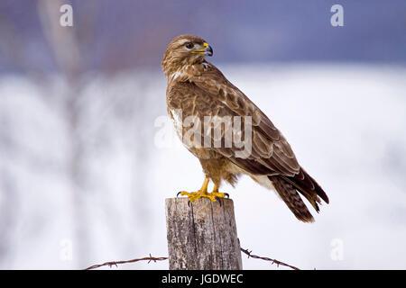 Common buzzard, Buteo buteo, Mäusebussard (Buteo buteo) - Stock Image
