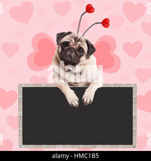 adorable sweet pug puppy dog hanging on blank blackboard sign on pink background with hearts - Stock Image