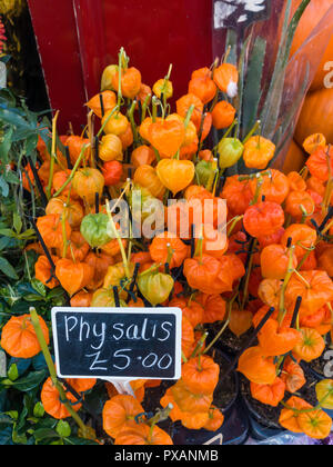 A cultivated Physalis pot plant for a garden priced at £5 in a Yorkshire Florists shop in 1918. - Stock Image