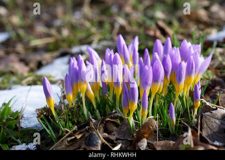 Crocus 'Firefly' in the winter garden. - Stock Image