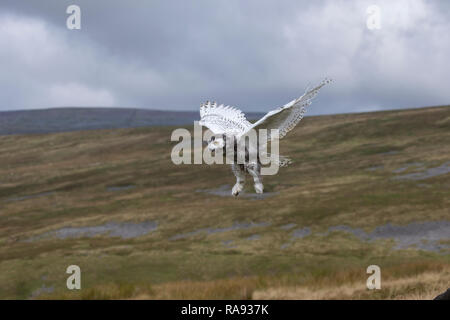 Juvenile Snowy Owl Bubo scandiacus flying over the Cumbrian mountains under controlled conditions - Stock Image