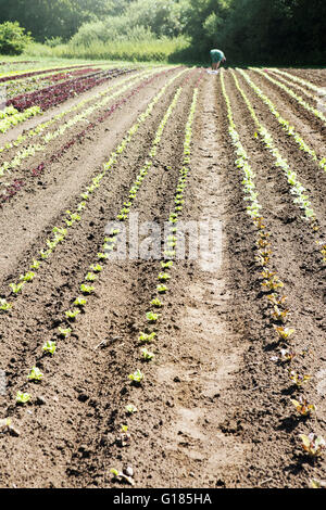 Farmer planting seedlings in organic farm - Stock Image