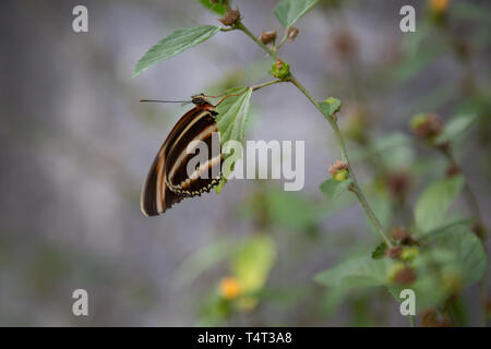 Banded orange heliconian butterfly (Dryadula phaetusa) perches on plant, ventral view, Asuncion, Paraguay - Stock Image