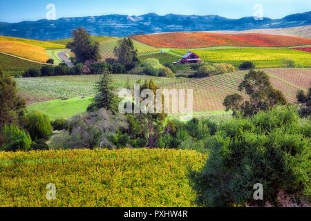 Rows of fall colored grapes. Vineyards of Napa Valley, California - Stock Image