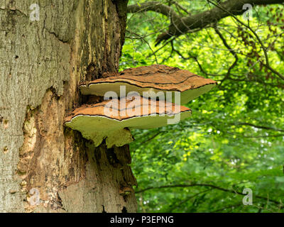 Ganoderma adspersum southern bracket fungus growing on old deciduous tree trunk, Lincolnshire, England, UK - Stock Image