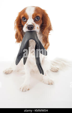 Guilty dog face.Cavalier king charles spaniel dog photo. Beautiful cute cavalier puppy dog on isolated white studio - Stock Image