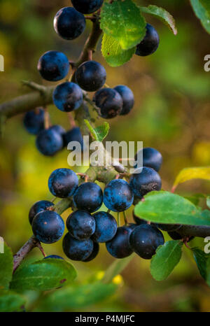 Sloe berries, the fruit of the blackthorn shrub often found as a hedge, the sloe berry is used to make sloe gin - Stock Image