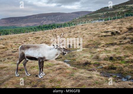 Reindeer roaming the Scottish Highlands in Cairngorm National Park, Scotland - Stock Image