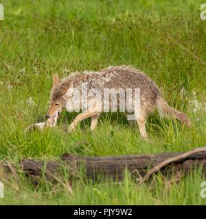 Coyote Devours Piece of Elk Meat - Stock Image