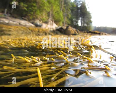 Floating seaweed or rockweed in Maine, USA. Ascophyllum nodosum is a large, common brown alga (Phaeophyceae) - Stock Image
