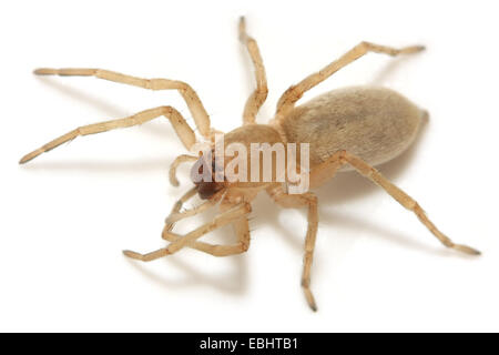 A Female Sac spider (Clubiona phragmitis) on white background. Sac spiders are part of the family Clubionidae. - Stock Image