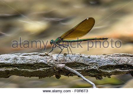 The beautiful demoiselle - Calopteryx virgo - Stock Image