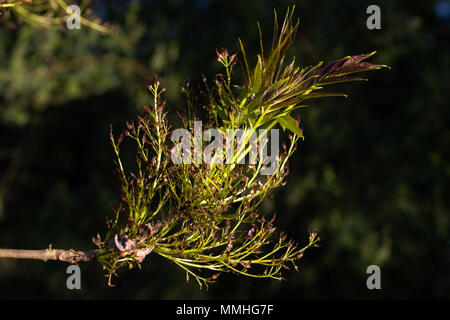 Common Ash (Fraxinus excelsior).  Fresh leaves, old flowers and fruiting bodies (seeds) - Stock Image