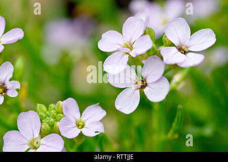 Sea Rocket (cakile maritima), close up of one flowering stem out of many. - Stock Image