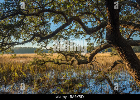Oak tree hanging out over the intracoastal marsh, Vereen Gardens, Little River, South Carolina, United States - Stock Image