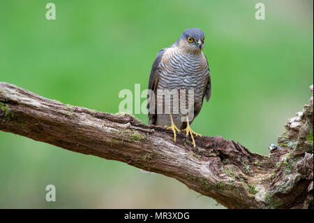 A female Sparrowhawk (Accipiter nisus) perched on a branch in British woodland. - Stock Image