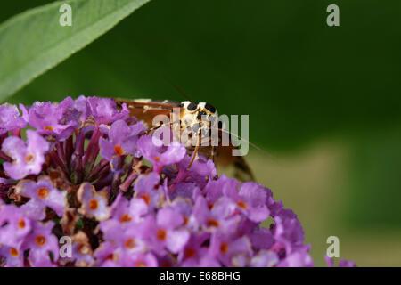 Jersey Tiger moth Euplagia quadripunctaria feeding on Buddleia flowers - Stock Image
