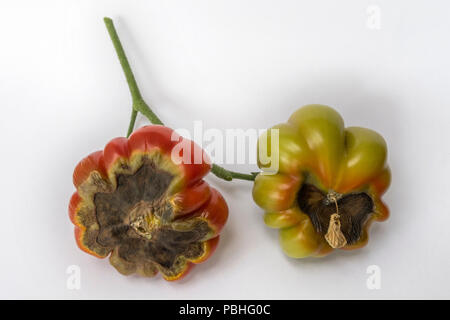 Blossom end rot on tomato Costoluto Fiorentino. The problem is caused by calcium deficiency. - Stock Image